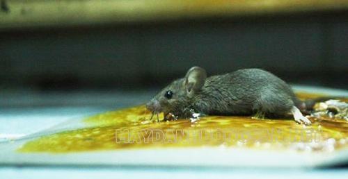 Cách đuổi chuột trong nhà hiệu quả