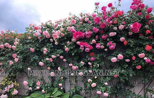 Nên trồng hoa gì trước nhà