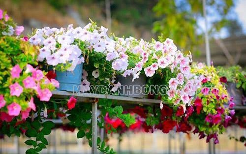 nên trồng hoa gì trước cổng nhà